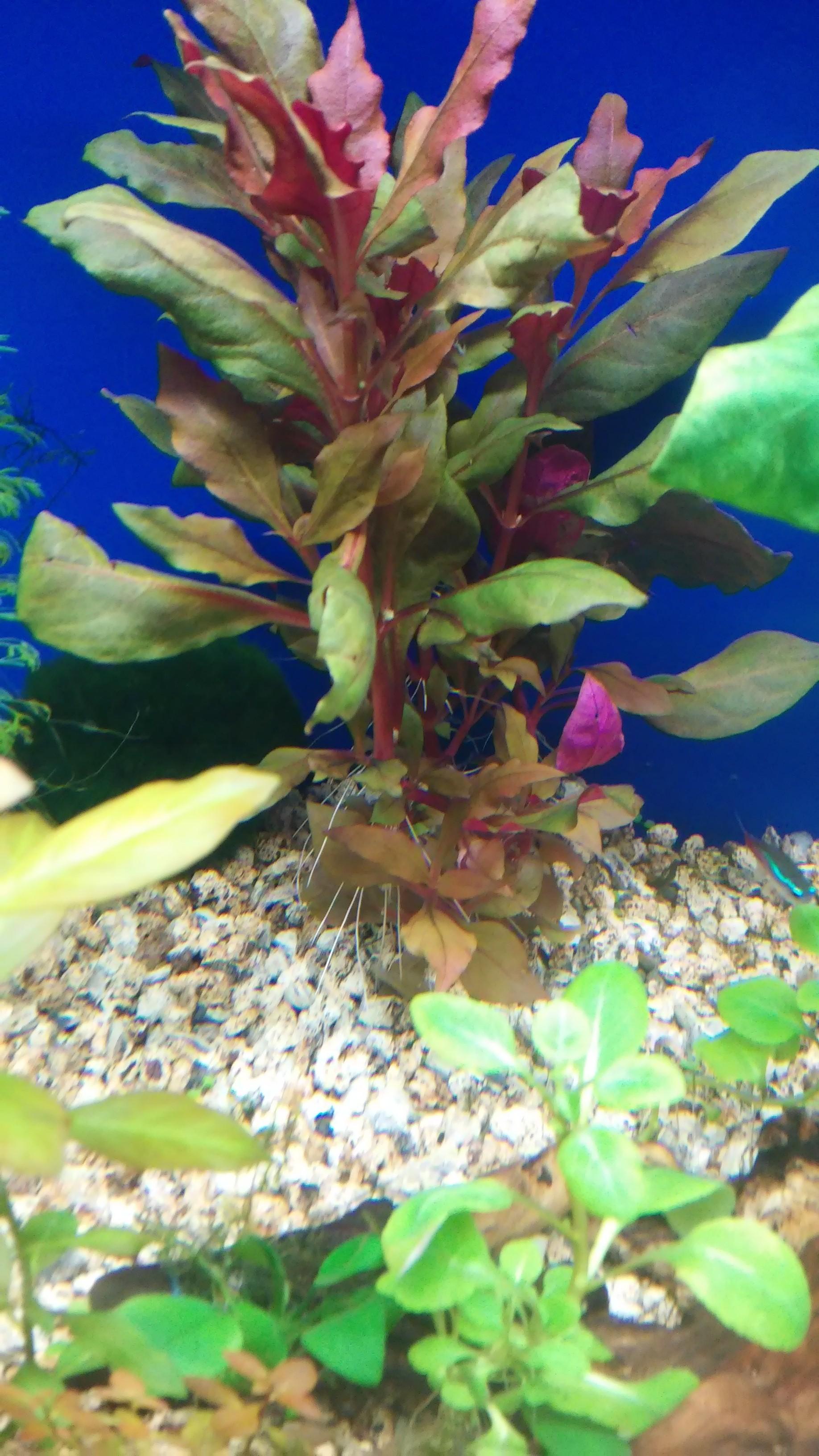 Pianta Foglie Rosse E Verdi alternanthera reineckii rosaefolia (del mio acquario)